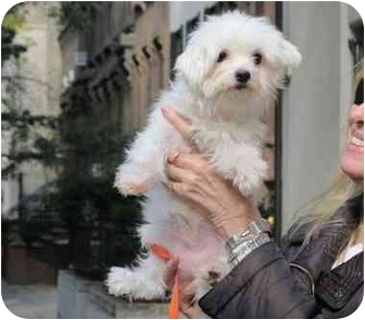 Maltese Dog for adoption in Long Beach, New York - Beulah