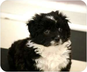 Shih Tzu Mix Puppy for adoption in Fairmount, Georgia - Rooter