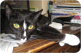 Domestic Shorthair Cat for adoption in Saranac Lake, New York - Paris