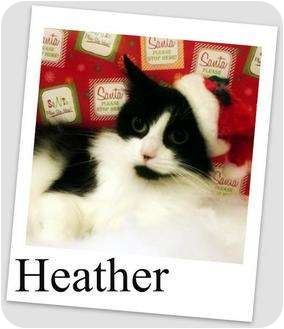 Domestic Mediumhair Cat for adoption in Waterford, Pennsylvania - Heather