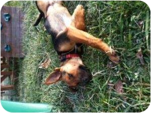 German Shepherd Dog Mix Puppy for adoption in Hopkinsville, Kentucky - Two Toes