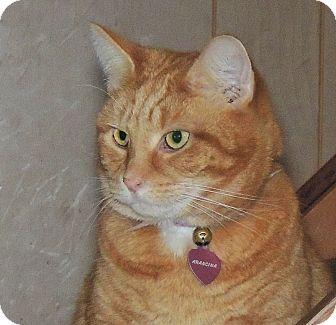 Domestic Shorthair Cat for adoption in Elmwood Park, New Jersey - Arancina