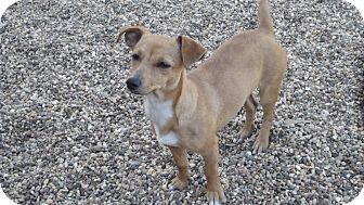 Chihuahua/Dachshund Mix Dog for adoption in Marshall, Texas - Tilly
