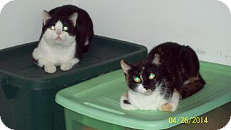 Domestic Shorthair Cat for adoption in Margate, Florida - Cali