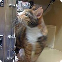 Adopt A Pet :: Tigerstripe - Monroe, GA