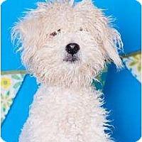 Adopt A Pet :: Tristan - no shed! - Phoenix, AZ