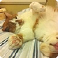 Adopt A Pet :: Simba - Vancouver, BC