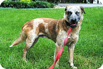 Australian Cattle Dog Mix Dog for adoption in Salem, New Hampshire - PRECIOUS