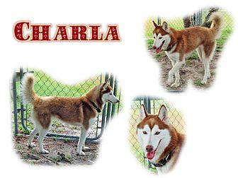 Siberian Husky Dog for adoption in Seminole, Florida - Charla