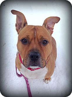 Pit Bull Terrier/Boxer Mix Dog for adoption in Ojai, California - ROXY