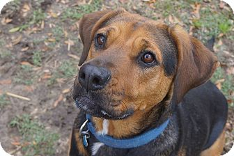 Staffordshire Bull Terrier/Hound (Unknown Type) Mix Dog for adoption in Ravenel, South Carolina - Dixie