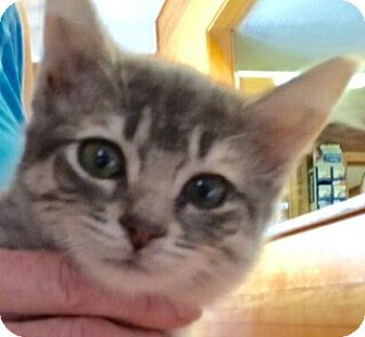 Domestic Longhair Kitten for adoption in Modesto, California - Bunnie