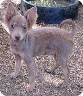 Chihuahua/Pomeranian Mix Puppy for adoption in Godley, Texas - Chocka