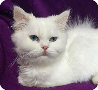 Persian Kitten for adoption in Nashville, Tennessee - Alexandria