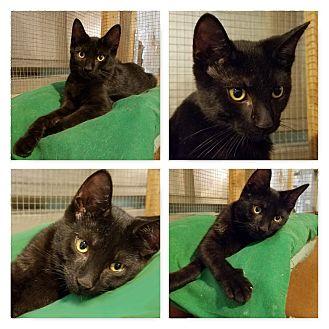 Domestic Shorthair Kitten for adoption in Trevose, Pennsylvania - Andrew