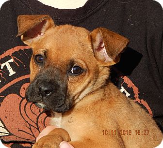German Shepherd Dog/English Bulldog Mix Puppy for adoption in Burlington, Vermont - Whirlwind (6 lb) Video!