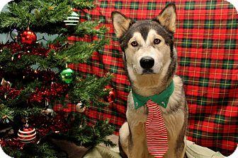 Alaskan Malamute Mix Dog for adoption in North Haledon, New Jersey - Bishop