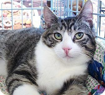 Domestic Shorthair Cat for adoption in Castro Valley, California - Oscar