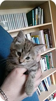 Domestic Shorthair Kitten for adoption in Naperville, Illinois - Orchid