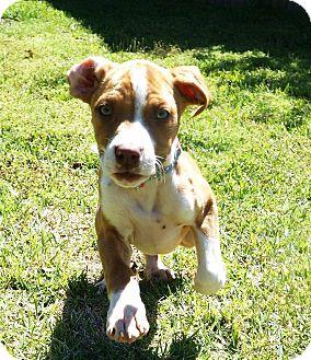 Hound (Unknown Type)/Labrador Retriever Mix Dog for adoption in Valley Stream, New York - Remie