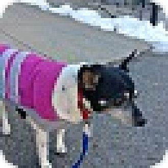Rat Terrier/Jack Russell Terrier Mix Dog for adoption in Worcester, Massachusetts - Suzie