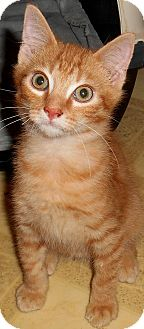 Domestic Shorthair Kitten for adoption in Chattanooga, Tennessee - Aiden