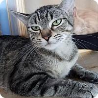 Domestic Mediumhair Cat for adoption in Mission, Kansas - Acadia