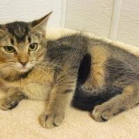 Domestic Shorthair/Domestic Shorthair Mix Cat for adoption in Portage, Wisconsin - Estefania