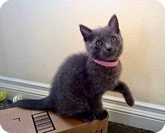 Russian Blue Kitten for adoption in Newport Beach, California - Gimli