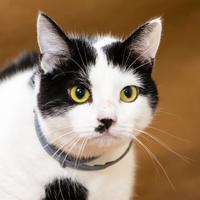 Domestic Shorthair/Domestic Shorthair Mix Cat for adoption in Chesapeake, Virginia - Bella