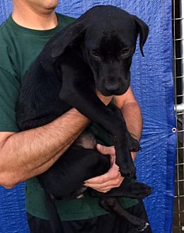Labrador Retriever Mix Puppy for adoption in Rockville, Maryland - Pup Cookie