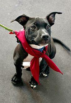 Labrador Retriever Mix Puppy for adoption in Hockessin, Delaware - Brynn