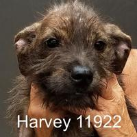 Adopt A Pet :: Harvey - Manassas, VA