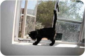 Domestic Shorthair Kitten for adoption in tucson, Arizona - Jailbird