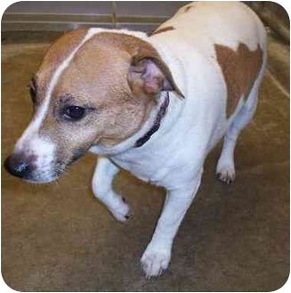 Jack Russell Terrier Dog for adoption in Anderson, Indiana - Ralphie