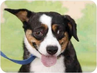 Rat Terrier/Beagle Mix Dog for adoption in Lomita, California - Jenny