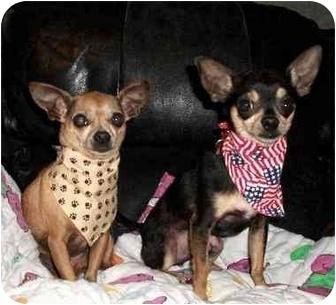 Chihuahua Dog for adoption in Walterboro, South Carolina - Chihuahuas