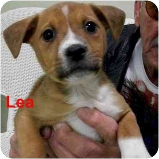 Boxer/Hound (Unknown Type) Mix Puppy for adoption in Slidell, Louisiana - Lea