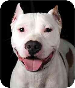 American Pit Bull Terrier/American Pit Bull Terrier Mix Dog for adoption in Chicago, Illinois - Louie*ADOPTED!*