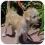 Photo 1 - Terrier (Unknown Type, Small) Mix Puppy for adoption in Spring Valley, California - Alfie