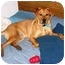 Photo 1 - Labrador Retriever/Rhodesian Ridgeback Mix Dog for adoption in Portsmouth, Rhode Island - Monty
