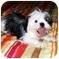 Photo 4 - Shih Tzu Mix Puppy for adoption in Latrobe, Pennsylvania - Romeo
