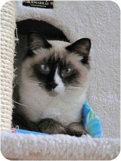Ragdoll Kitten for adoption in Davis, California - Capiezo