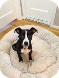 Pointer Mix Puppy for adoption in East Rockaway, New York - Paxton