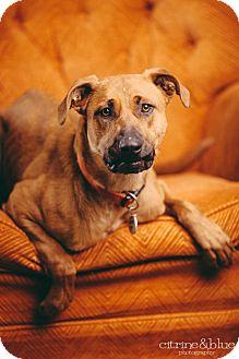 German Shepherd Dog Mix Dog for adoption in Portland, Oregon - Clover