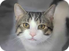 Domestic Shorthair Cat for adoption in Lancaster, Massachusetts - Khloe