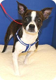 Boston Terrier Mix Dog for adoption in Gilbert, Arizona - Beans