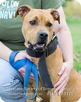 Pit Bull Terrier Mix Dog for adoption in Somerset, Pennsylvania - Rayne