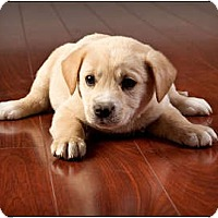Adopt A Pet :: Oregano - Owensboro, KY