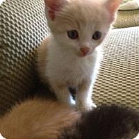 Adopt A Pet :: Snowball - Xenia, OH